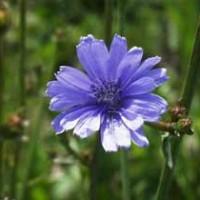 خواص جادویی گیاه کاسنی|خواص طبی کاسنی