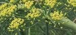 خواص طبی رازیانه|گیاه رازیانه درمان چاقی