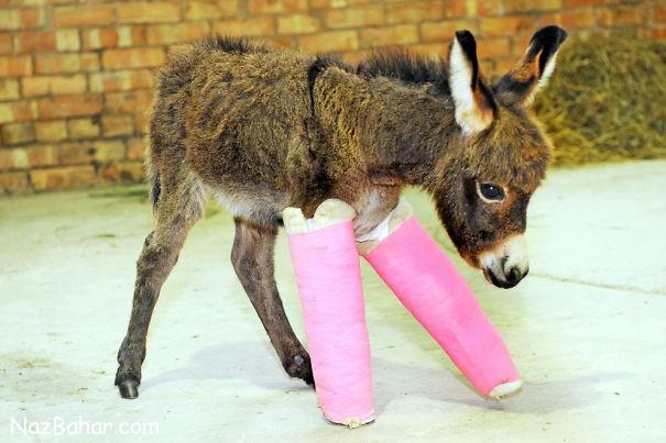 عکس های دیدنی و بامزه از گچ گرفتن دست و پای حیوانات